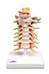 Cervical Spinal Column