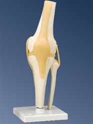 Functional Knee Joint Model