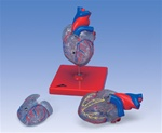 Classic Heart Model with Conducting System, 2 part model