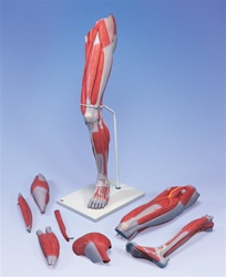 Deluxe Muscle Leg Model, 7 part, Life Size