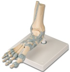 Foot Skeleton Model with Ligaments