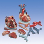 Heart Anatomy on Diaphragm Model, 3 times life size, 10 part model
