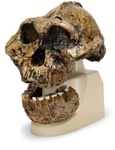 Anthropological skull – KNM-ER 406, Omo L. 7a-125