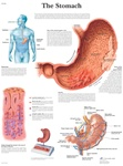 The Stomach - Anatomical Chart