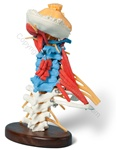 Deluxe Muscled Cervical Vertebrae Spine Model (Made in USA)