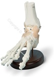 Ligamented Foot Skeleton Model (Made in USA)