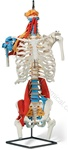 Premium Muscled Skeleton Torso Model (Made in USA)