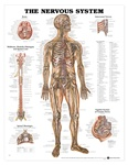Human Nervous System Anatomical Chart