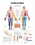 Human Dermatomes Anatomical Chart