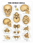 The Human Skull Anatomical Chart