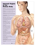 Internal Organs of the Human Body Anatomical Chart