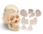 Budget Skull with 8-Part Brain Model