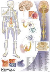"Oversize Nervous System Wall Chart - 36"" x 44"""