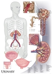 "Oversize Urinary System Wall Chart - 36"" x 44"""
