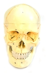 Numbered Human Skull Model, 3 part