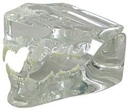 Clear Feline Jaw Model Showing Teeth
