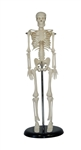 Petite Plus Human Skeleton Model on Plastic Base