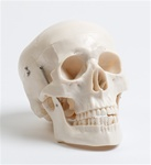 Deluxe Life Size Skull - 3 part